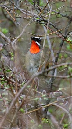 The Siberian Rubythroat (Luscinia calliope) is a small passerine bird. It is a migratory insectivorous species breeding in mixed coniferous forest with undergrowth in Siberia. It nests near the ground. It winters in India and Indonesia.
