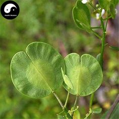 Buy Herba Thlaspis Seeds 200pcs Plant Boor's Mustard Herb For Xi Ming