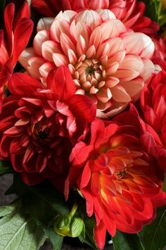 some red dahlias-the only thing about dahlias takes a bit to going not until about July do you get a good flower show