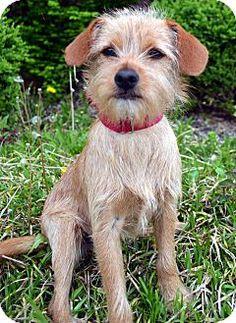 Bridgeton, MO - Border Terrier Mix. Meet Cinch, a dog for adoption. http://www.adoptapet.com/pet/12809399-bridgeton-missouri-border-terrier-mix