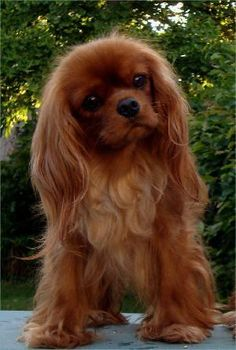 Cavalier King Charles Spaniel More Cavalier King Charles Spaniel & Source by The post Cavalier King Charles Spaniel & appeared first on Welch Puppies. Rei Charles, King Charles Dog, Beautiful Dogs, Animals Beautiful, Cute Animals, Cute Puppies, Cute Dogs, Dogs And Puppies, Lazy Dog Breeds