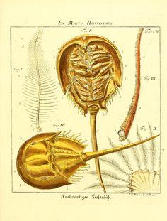 Horseshoe crab. D. Jacob Christian Schäffers Abhandlungen von Insecten Bd. 2-3 Regensburg :Verlegts Johann Leopold Montag,1764-1779. Biodiversitylibrary. Biodivlibrary. BHL. Biodiversity Heritage Library
