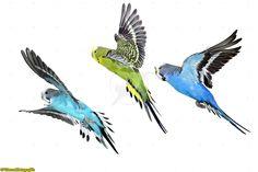 three budgerigar (blue, green, blue)