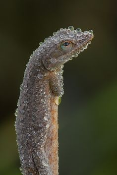 Green Anole covered w/ Dew by Jude Haase on 500px