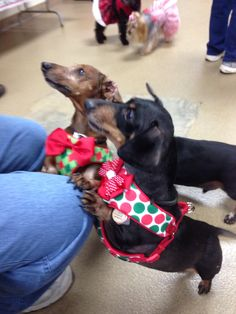 381 Best Christmas Doxies Images On Pinterest Dachshund