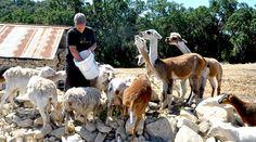 Winery/petting zoo! California Wine: The Beasts At Tablas Creek | SoCal Spirits | Food | KCET