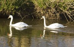 pair of swans 17/30
