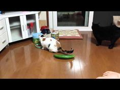 Cats are terrified of cucumbers and no one knows exactly why - Telegraph Cats Vs Cucumbers, Cute Funny Dogs, Cat People, Try Not To Laugh, Cat Drawing, Cute Gif, More Cute, Videos Funny, Kittens