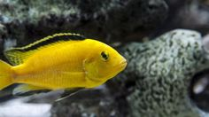 Breeding Malawi Mbuna for the First Time - PetSolutions