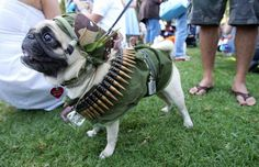 This warrior pug is ready for battle.