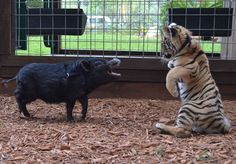 Unlikely Animal Friends: Tiger Cubs, Fawn, And Potbellied Pig Pal Around At Dade City Wild Things (PHOTOS)