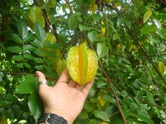 """Star Fruit """"on the vine"""" in Costa Rica."""