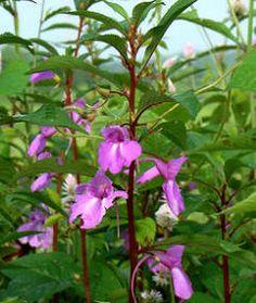 Flores ornamentales: Balsamina (Impatiens balsamina / B. hortensis)