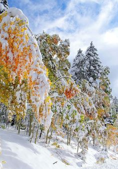 Colorful trees covered in Snow. I Love Winter, Winter Snow, Winter Time, Paraiso Natural, Winter Scenery, Winter Magic, Winter's Tale, Colorful Trees, Snow Scenes