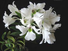 Dendrobium sanderae var. luzonicum - Flickr - Photo Sharing!