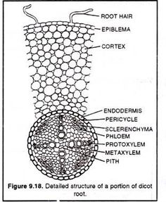 Detailed structure of a portion of dicot root