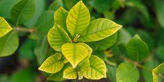 10 μυστικά για τη φροντίδα της γαρδένιας (+video)   Τα Μυστικά του Κήπου Plant Leaves, Plants, Gardening, Blog, Decor, Decoration, Garten, Planters, Lawn And Garden