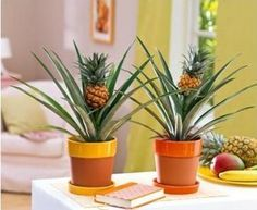 Para plantar abacaxi em vaso: Deve cortar a fruta 2,5 cm abaixo da coroa ... Retire toda a polpa, deixando apenas a parte central, que é d...