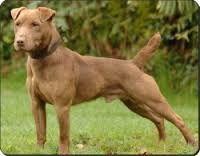 Afbeeldingsresultaat voor patterdale terrier