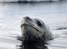 Leopard Seal on Ross Island, Antarctia by Dr. Paul Ponganis via theatlantic Leopard Seal auf Ross Island, Antarktis von Dr. Paul Ponganis via theatlantic Arctic Animals, Animals And Pets, Baby Animals, Cute Animals, Ross Island, Elephant Seal, Interesting Animals, Underwater World, Science And Nature