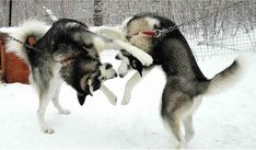 Those sleddogs can DANCE!   Blackie and Buzz romp it up... they've been danicing (and working!) at Husky Power since 2004!
