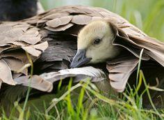 BIRD - Canada Goose Gosling