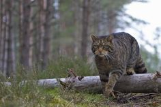 A Scottish wildcat (Felis silvestris grampia) on the prowl in the Caledonian pine forest - © Nigel Atkinson Wild Images