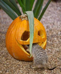 What pumpkins eat.