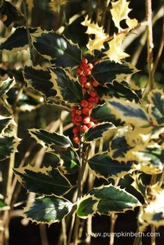 Ilex aquifolium 'Argentea Marginata Pendula'. Is a variegated female holly with a weeping habit.