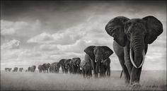 Nick Brandt - Wildlife Photographer - elephants-walking-through-grass