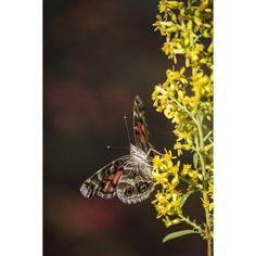 Painted Lady Butterfly (Cynthia) feeds on goldenrod Tahlequah Oklahoma United States of America Canvas Art - Robert L Potts Design Pics (12 x 19)