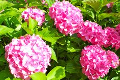 Hortensien Rose, Flowers, Plants, Limelight Hydrangea, Lawn And Garden, Pink, Roses, Flora, Royal Icing Flowers