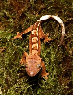 Crested Gecko - Captive Bred Baby