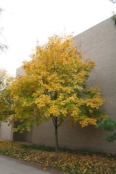 22 Best Black Maple Images In 2013 Acer Maple Tree Autumn Day