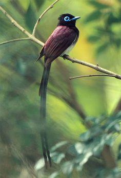 Paradise Flycatcher, taken at Taipei Botanical Garden, TAIWAN!