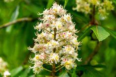 Die Blüte der Rosskastanie, Windschutzhecken, aufgenommen im Mai, Pflanzen