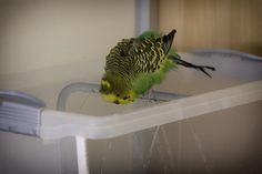 Vogeldusche | künstliche Beregnung für Wellensittiche