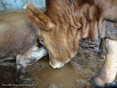 Please help us to #StopTheTrucks  During long distance transport animals are thirsty and they do not have access to any water: this cattle is obliged to drink her and other animals urine while transported to the slaughterhouse.  Sign our petition > www.stopthetrucks.eu