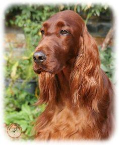 irish setter puppies | ... Zazzle Gallery/Dogs/Irish Setter/Irish Setter 9Y209D-090