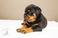 Raza Rottweiler, Rottweiler Training, Rottweiler Puppies, Husky Puppy, Cute Puppies, Dogs And Puppies, Chihuahua Dogs, Doggies, Pets