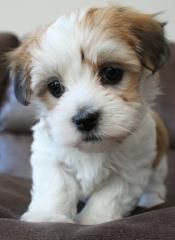 Aww my little angel saw this pup and it made him smile.  Looks like we're gonna have to get a dog soon! -  Havanese puppy