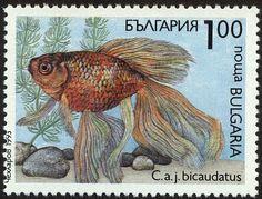 Goldfish (Carassius auratus bicaudatus)