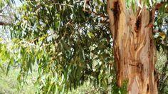 eucalipto pianta - Cerca con Google