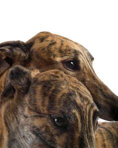 Fine Art Greyhound Photograph