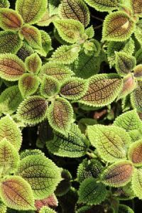 Pilea inaequalis - West Indian Clearweed