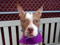 TO BE DESTROYED - 01/15/15 Manhattan Center -P  My name is BUDDY. My Animal ID # is A1024879. I am a male br brindle and white am pit bull ter mix. The shelter thinks I am about 3 YEARS old.  I came in the shelter as a STRAY on 01/06/2015 from NY 11101, owner surrender reason stated was STRAY.