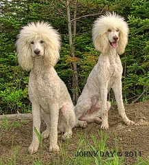 """The HollyDay Team"" - Barbie and Fabio #StandardPoodles"