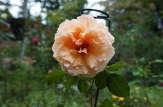Just Joey® - Heirloom Roses
