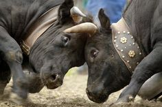 combat de reines - Recherche Google Cattle, Mammals, Switzerland, Elephant, Creatures, Horses, Mountains, Cows, Recherche Google