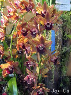 Cymbidiums at the Santa Barbara International Orchid Show.